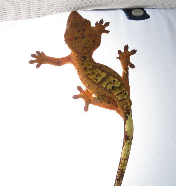 chee the crested gecko